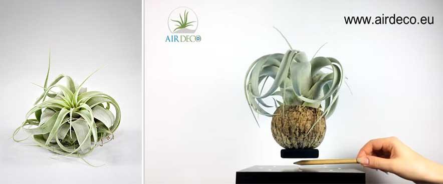 plante-aeriene-care-leviteaza